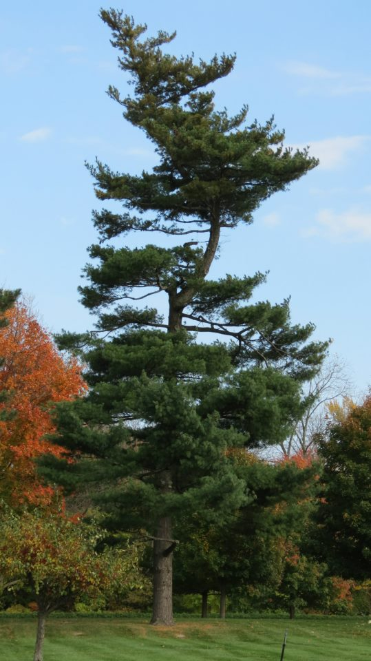 Section 12 – Pine Tree